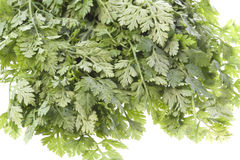 chervil isolerade leaves Royaltyfria Foton