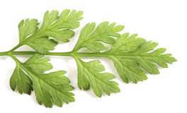 Chervil leaf macro Royalty Free Stock Images