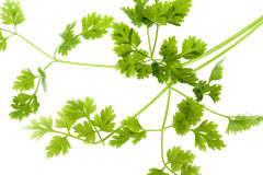 Chervil Leaves Isolated Stock Images