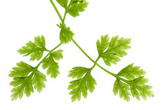 Chervil Leaves Isolated Royalty Free Stock Image