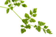 Chervil Leaves Isolated Stock Photos