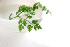 Chervil leaves Royalty Free Stock Image
