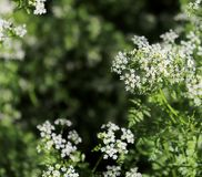Chervil in the organic garden.Anthriscus or chervil growing in Europe and temperate parts of Asia.Anthriscus cerefolium stock image