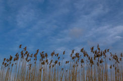Chervil and Sky Royalty Free Stock Images