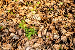 Chervil, spice in the German spring forest. Chervil, herbal spice in the German spring forest Stock Photos