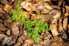 Chervil, spice in the German spring forest. Chervil, herbal spice in the German spring forest Stock Photo