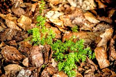 Chervil, spice in the spring forest. Chervil, spice in the German spring forest Royalty Free Stock Photo