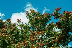 Chervona viburnum on the blue sky royalty free stock image