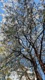 Chery blommor Arkivfoto