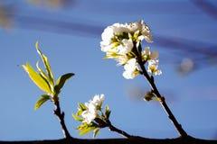 Chery blomning Arkivfoto