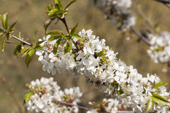 Chery blossom Stock Image