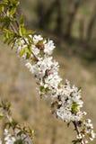 Chery blossom Stock Photo
