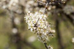 Chery blossom Royalty Free Stock Photo