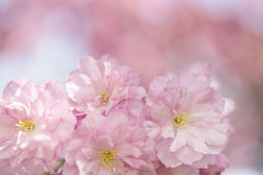 Chery Blossoms in SPring Stock Image