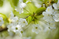 Chery Blossoms in SPring Stock Photography