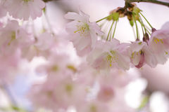 Chery Blossoms in SPring Stock Photo
