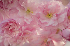 Chery Blossoms in SPring Royalty Free Stock Photos