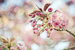 Chery Blossoms in SPring Stock Images