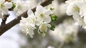 Chery flowers in spring