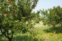 Chery tree Stock Images