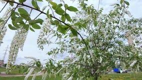 Cheryomuha-padus avium stock footage
