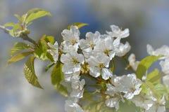 Cheryy blossoms Stock Photo