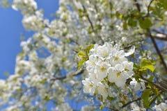Cheryy blossoms Stock Photos