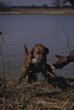Chesapeak Bay Retriever. A chesapeak retriever bringing adowned duck to his handler Stock Photo