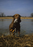 Chesapeak Bay Retriever with Duck Stock Image