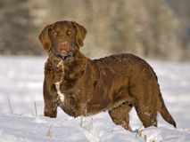Chesapeake baairetriever Stock Afbeeldingen