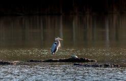 Chesapeake Bay Great Blue Heron Stock Image