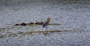 Chesapeake Bay Great Blue Heron with turtles Stock Photos