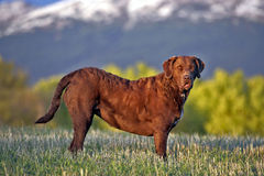 Chesapeake Bay Retreiver Lizenzfreie Stockbilder