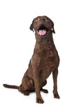 Chesapeake Bay retriever. In front of a white background Royalty Free Stock Photography