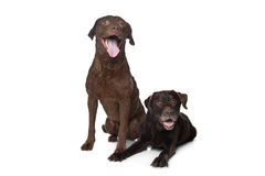 Chesapeake Bay retriever and a Labrador Stock Photography