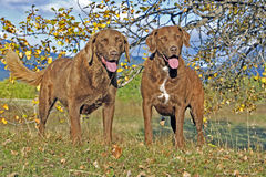 Chesapeake Bay Retriever. Two standing on grass by tree in autumn colors Royalty Free Stock Image