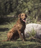 Chesapeake bay retriever. A wet chesapeake bay retriever sitting relaxed in the sun close to a big rock on a natural background Royalty Free Stock Photo