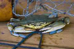 Chesapeake Blue Crab Stock Photo