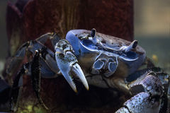 Chesapeake blue crab. Is a species of crab native to the waters of the western Atlantic Ocean and the Gulf of Mexico Stock Photo