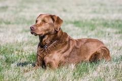 Chesapeake crossbreed male Stock Photos