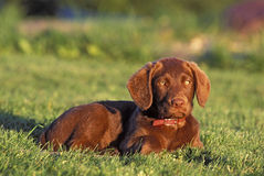 Chesapeake Retriever puppy Royalty Free Stock Images