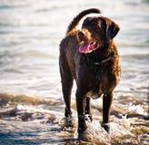 Chesapeake-Schacht-Apportierhund Lizenzfreie Stockfotografie