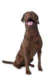 Chesapeake-Schachtapportierhund Lizenzfreie Stockfotografie