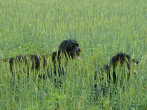 Chesapeake Water Dogs Peaking Over Grasses Royalty Free Stock Photo
