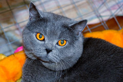 Cheshire cat. British Blue Shorthair Cat Royalty Free Stock Photography