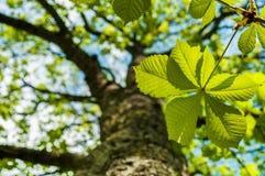 Chesnut叶子和树 免版税库存照片