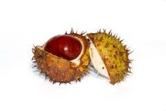 Chesnut开放毛刺的分裂 免版税库存图片