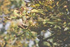 Chesnut树 秋天 秋天场面 秀丽自然场面树和 库存图片