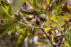 Chesnut树 秋天 秋天场面 秀丽自然场面树和 免版税库存图片