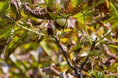 Chesnut树 秋天 秋天场面 秀丽自然场面树和 免版税库存照片